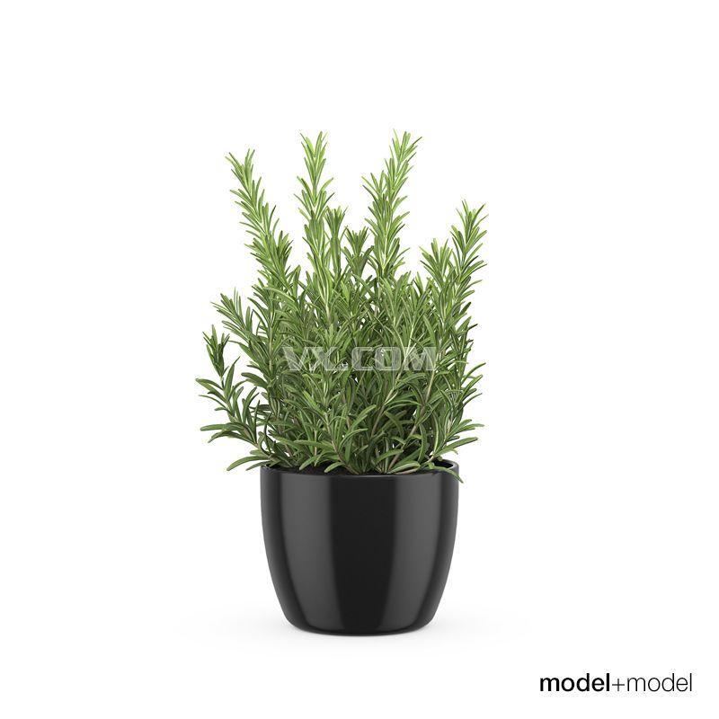 迷迭香盆栽_3dsmax_园林景观_3d模型_图纸下载_微小网